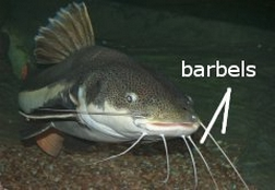 catfish barbels