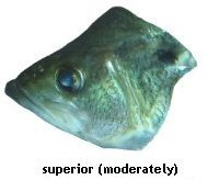 superior mouth